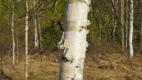 Trunk of young birch tree. At river bank stock footage