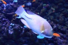Trunkfish анкера Стоковые Изображения RF
