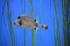 Trunkfish con nuoto macchiato di picchiettio subacqueo fotografie stock
