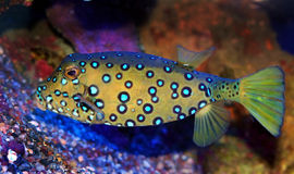 Trunkfish de cube (adulte) - cubicus d'Ostracion Photos stock