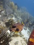 Trunkfish lisse 01 Photos stock