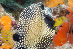 Trunkfish lisse photo stock