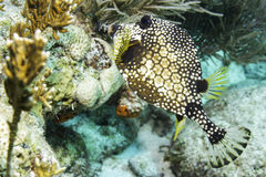 Trunkfish lisse image stock