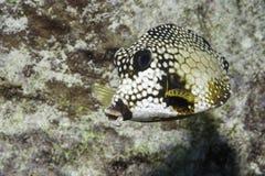 Trunkfish lisse photographie stock libre de droits