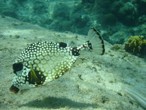 Trunkfish lisse, Caribbbean Photo libre de droits