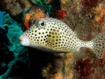 Trunkfish macchiato fotografia stock libera da diritti