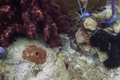 Trunkfish manchado joven Fotos de archivo