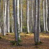 Trunks. Of a beech forest in autumn, Ordesa National Park, Pyrenees, Huesca, Aragon, Spain Royalty Free Stock Photography
