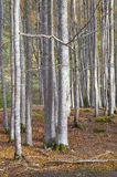 Trunks. Of a beech forest in autumn, Ordesa National Park, Pyrenees, Huesca, Aragon, Spain Stock Photo