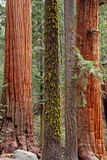 Trunks. Mossy redwood trunks in Kings Canyon / Sequoia National Park Stock Photography