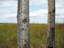Trunks of alders. Trunks of alder on the background of the field Stock Images
