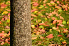 Trunks in the autumn. Trunks in autumn background colorful fall leaves.  fall foliage Royalty Free Stock Photo
