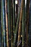Bamboo on the tropical island of Taiwan royalty free stock photo