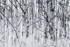 Black and white trunks of trembling aspen forest in spring. Trunks and bare branches of trembling aspen forest in early spring black and white Royalty Free Stock Photography