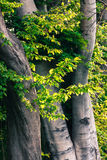 Trunks of beech Royalty Free Stock Images