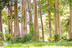 Trunks of big trees. In the forest stock photo