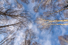 Trunks birch forest bottom winter Royalty Free Stock Photography