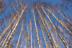 Trunks birch forest bottom winter. The beautiful view with bottom on the high thin white trunks of birch trees close up on a background of blue sky in winter Stock Images