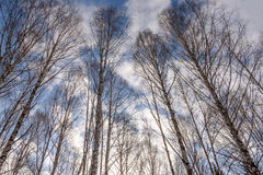 Trunks birch forest bottom winter Royalty Free Stock Image