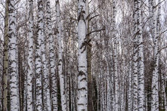 Trunks birch forest snow trees Stock Photos