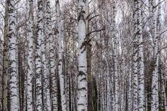 Trunks birch forest snow trees Stock Photos