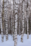 Trunks birch forest snow trees Royalty Free Stock Photo