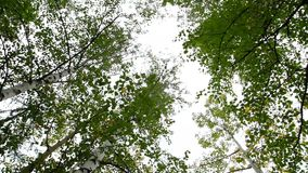 Trunks of birch on sky background. The trunks of birch trees stretching up to the sky stock footage