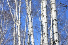 Trunks of birch trees against blue sky Royalty Free Stock Photo