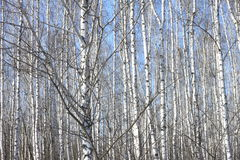 Trunks of birch trees against blue sky Royalty Free Stock Images