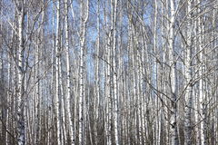 Trunks of birch trees against blue sky Stock Photos