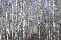 Trunks of birch trees against blue sky Stock Photo