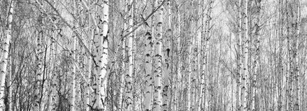 The trunks of birch trees. Royalty Free Stock Photography