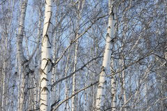 Trunks of birch trees in birch-wood Stock Photography