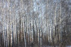 Trunks of birch trees in birch-wood Royalty Free Stock Images