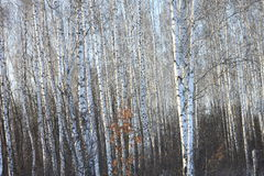 Trunks of birch trees in birch-wood Stock Image