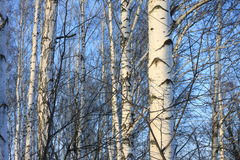 Trunks of birch trees in birch-wood Stock Photo