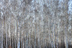 Trunks of birch trees in birch-wood Royalty Free Stock Image