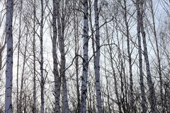 Trunks of birch trees in birch-wood Stock Images