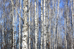 Trunks of birch trees in birchwood Stock Image