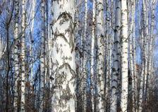 Trunks of birch trees in birchwood Stock Photo