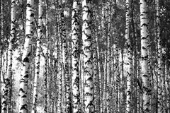 Trunks birch trees black and white Stock Photos