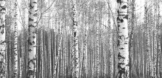 Trunks of birch trees, black and white natural background Stock Photo