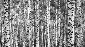 Trunks birch trees black and white. In summer Royalty Free Stock Photo