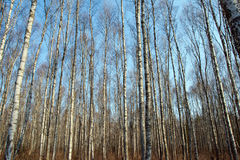 Trunks of birch trees and blue sky Royalty Free Stock Image