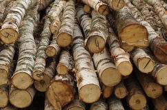 The trunks of the birch trees felled Stock Image