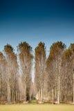 Trunks birch trees Royalty Free Stock Photos