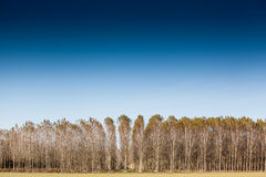 Trunks birch trees Stock Images