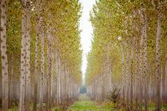 Trunks birch trees Stock Image