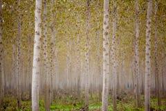 Trunks birch trees Stock Photos