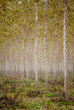 Trunks birch trees Royalty Free Stock Image
